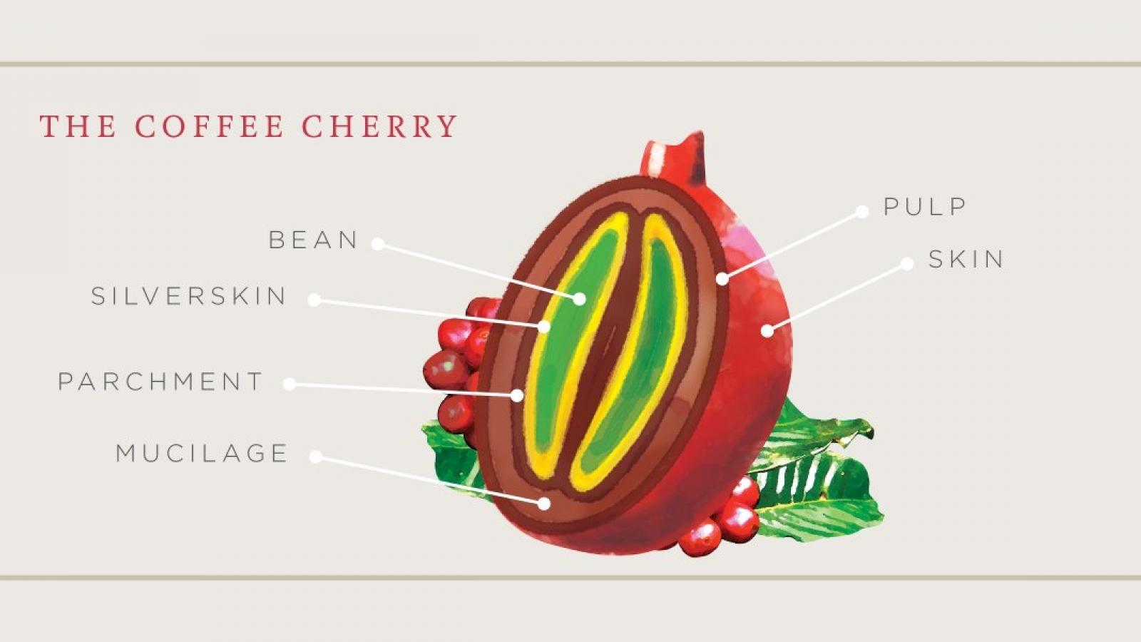coffee cherry infographic