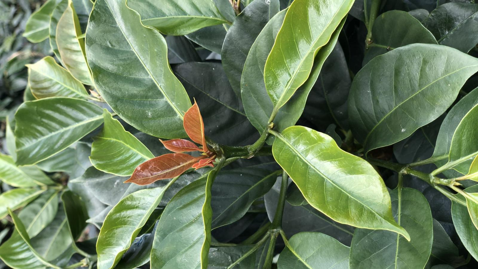 coffee plant leaves