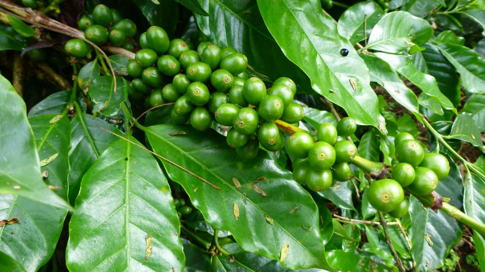 coffee cherries on plant